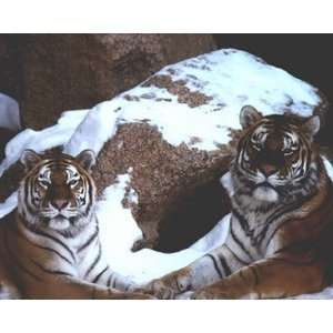 Tigers In Snow 8 x 10 Animals Art Print Poster: Home