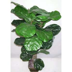 40 Fiddle Leaf Fig Plant:  Home & Kitchen
