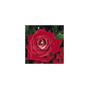 Merlot™ Hybrid Tea Rose  Grocery & Gourmet Food