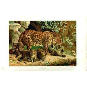 NATURAL HISTORY 1893 94 FAMILY LEOPARDS WILD ANIMALS