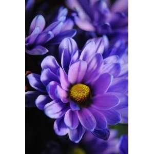 Pastel Purple Daisy Flower Photograph