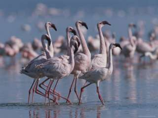 Group of Greater Flamingos Wade in the Shallow Water of Lake Nakuru
