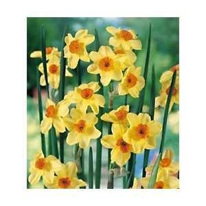 Daffodil   Tazetta   Golden Dawn: Patio, Lawn & Garden
