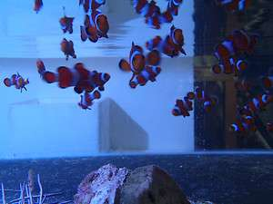 Live coral fish Clownfish Ocellaris Tank Raised lot of 6