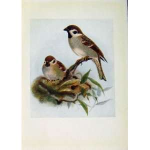 Birds Of Britain By Dresser Tree Sparrow Color Art