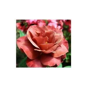 200 Black Tea Rose Bush Flower Seeds Patio, Lawn & Garden